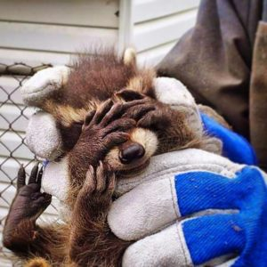 Raccoon Removal Bowmanville