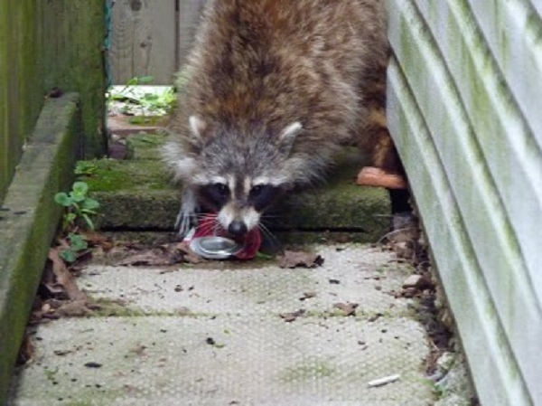 Raccoon Removal Durham